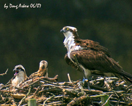 TV-76 Osprey Femaile and Chicks
